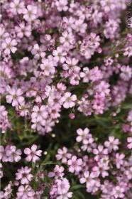 Gypsophila-repens-Rosea-Teppich-Schleierkraut-Kriechendes-Schleierkraut