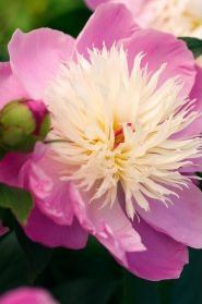 Paeonia-lactiflora-Bowl-of-Beauty-Edel-Pfingstrose
